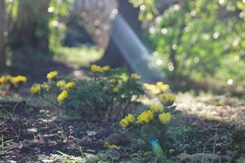 木漏れ日と福寿草4