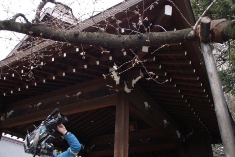 桜を映すテレビ局