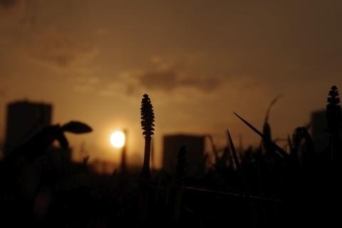 夕日を眺めるツクシ