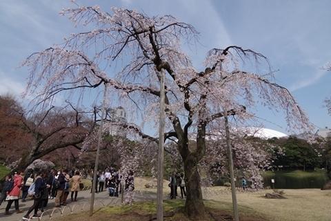 枝垂れ桜(馬場桜)