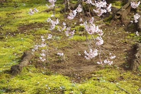 苔むす大地と桜