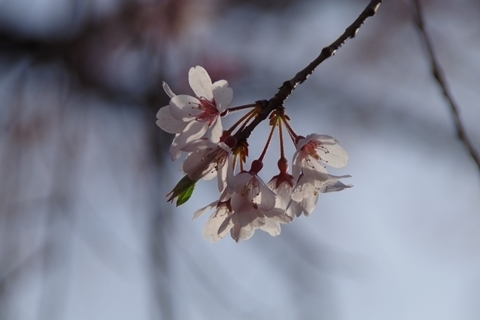 陽に透けた枝垂れ桜