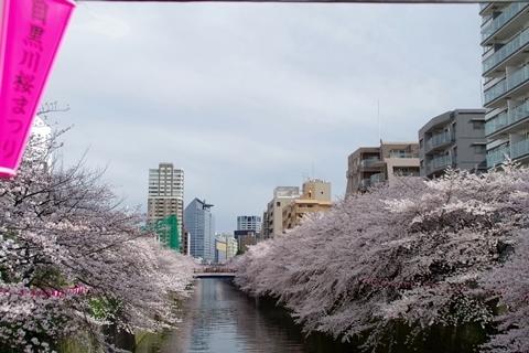 目黒川の桜・中里橋