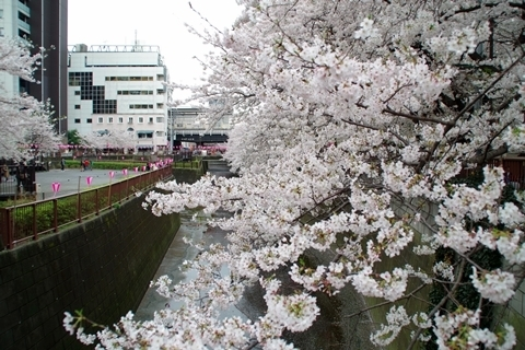 中目黒駅と桜