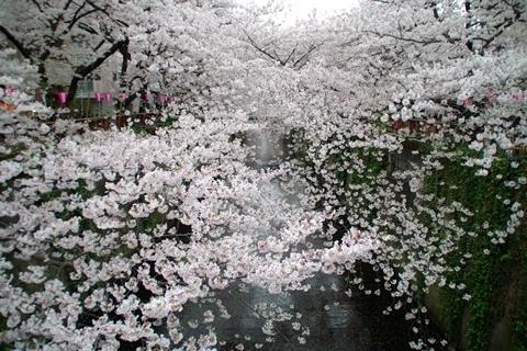 中目黒の桜1