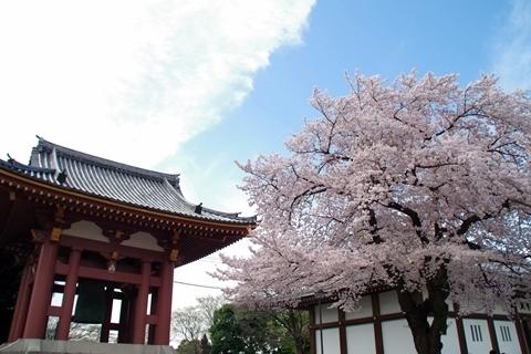 鐘楼堂と霊宝殿と桜