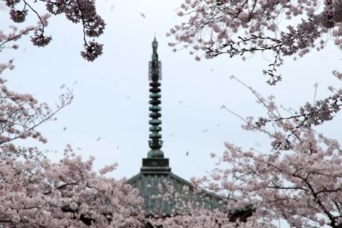 双輪と桜吹雪1