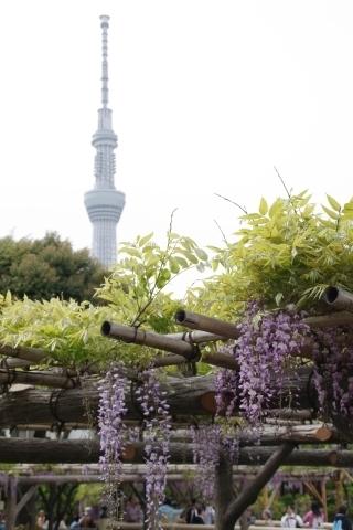 藤棚と東京スカイツリー1