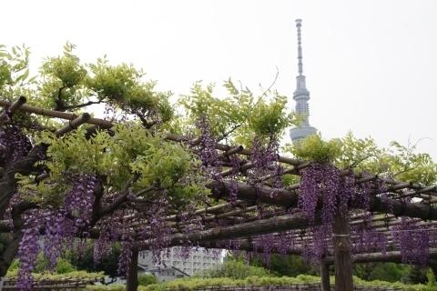 見頃間近の藤棚と東京スカイツリー