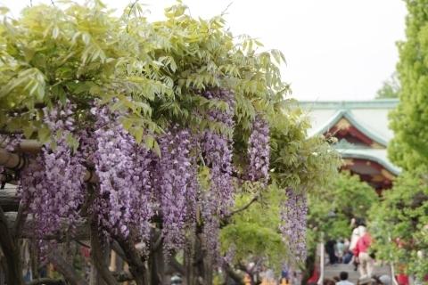 平橋から藤と本殿