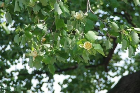 満開のユリノキの花