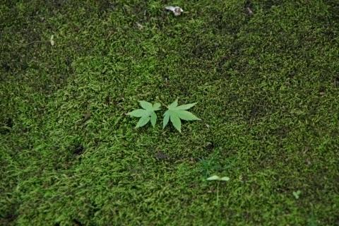 苔の上のモミジ