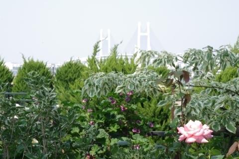 バラとベイブリッジ