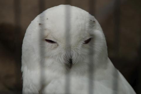 シロフクロウのオス・顔