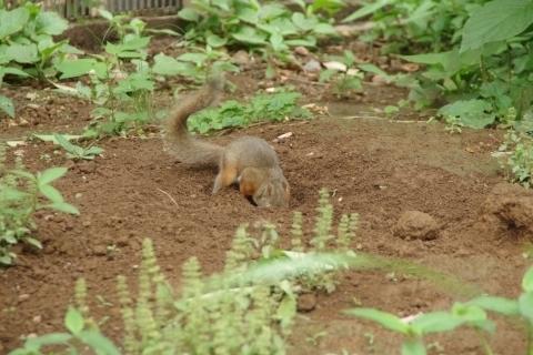 穴を掘るリス