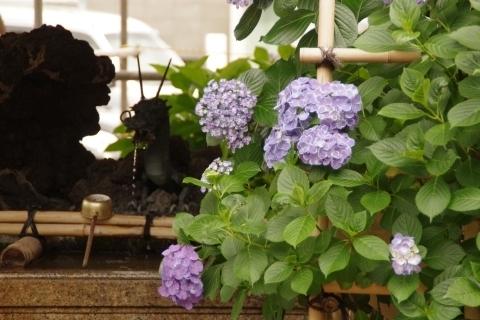 龍口と紫陽花