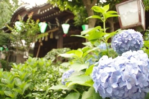 本殿と紫陽花