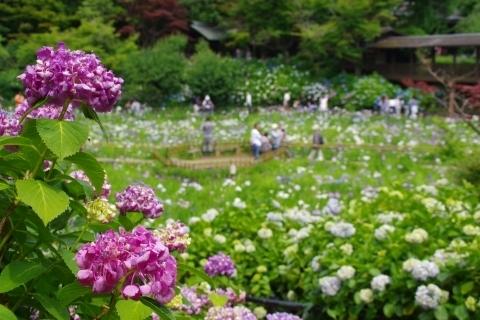 紫陽花と菖蒲池