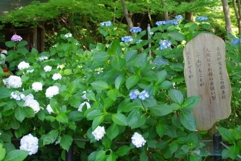 一茶の俳句と紫陽花