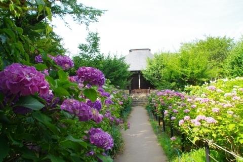 妙朗堂と紫陽花