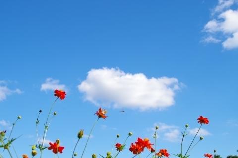 空を見上げるキバナコスモス