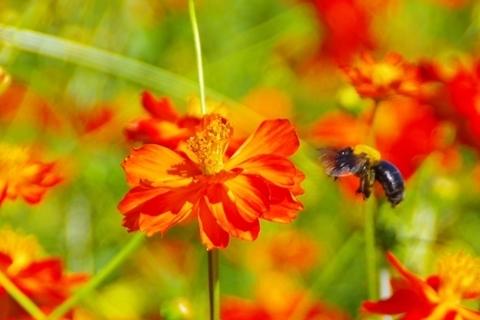飛んできたクマバチ