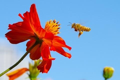 キバナコスモスに集うミツバチ.JPG