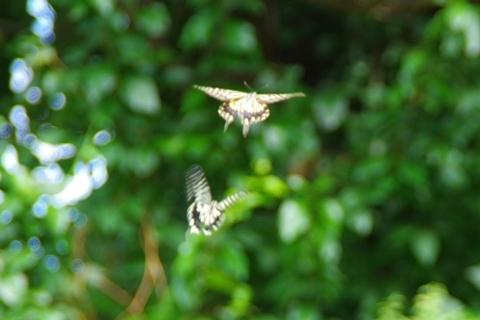 遠くに飛んで行くナミアゲハ