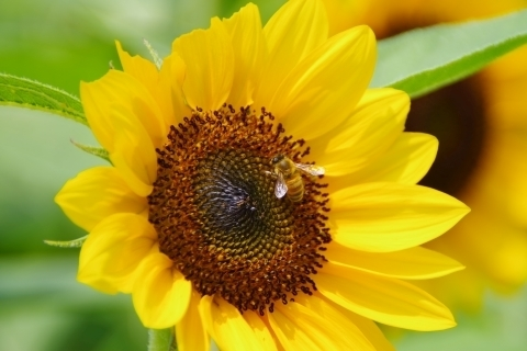 ヒマワリに取り付くミツバチ