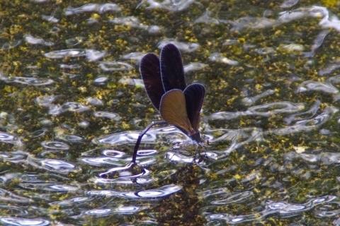 翅を開いたハグロトンボのメス