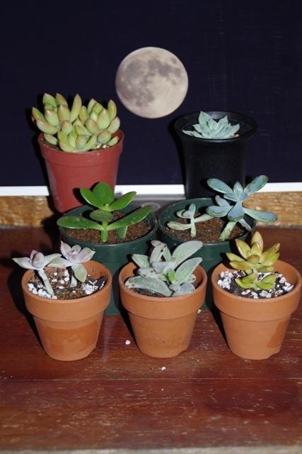 写真を囲む多肉植物1