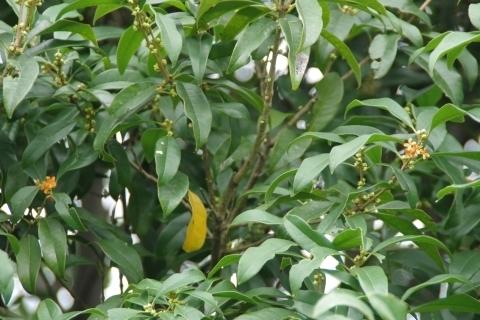 所々で咲く金木犀