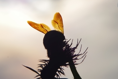 陽に透けたクマバチ