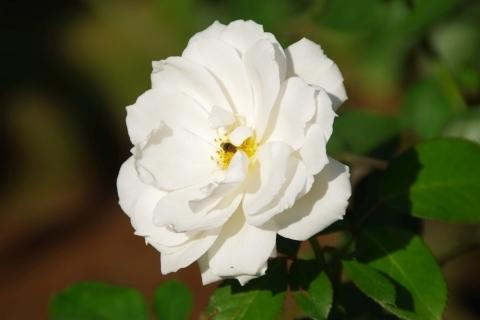 バラ「プリンセス・オブ・ウェールズ」