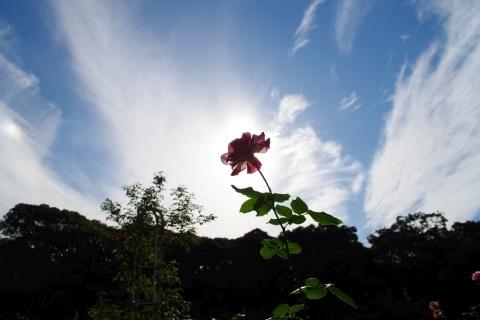 幻日とバラ