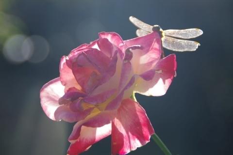 日に透かしたバラとトンボ