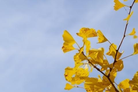 空を仰ぐイチョウの葉