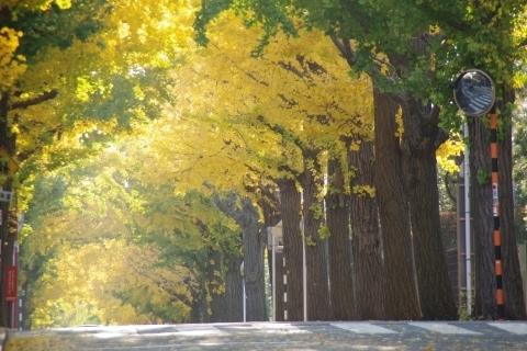 金色のイチョウ並木