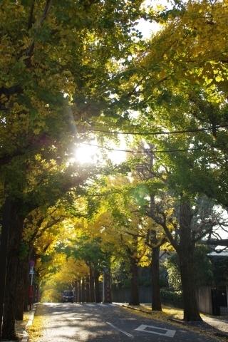イチョウ並木にさす光