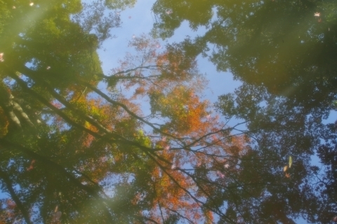 池に映るモミジ