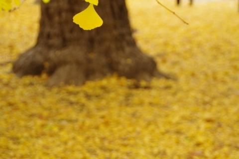 散らないイチョウの葉
