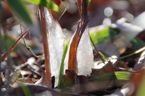 キラキラ輝くシモバシラの氷柱