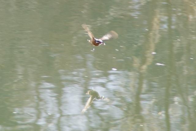 飛ぶカワセミ1