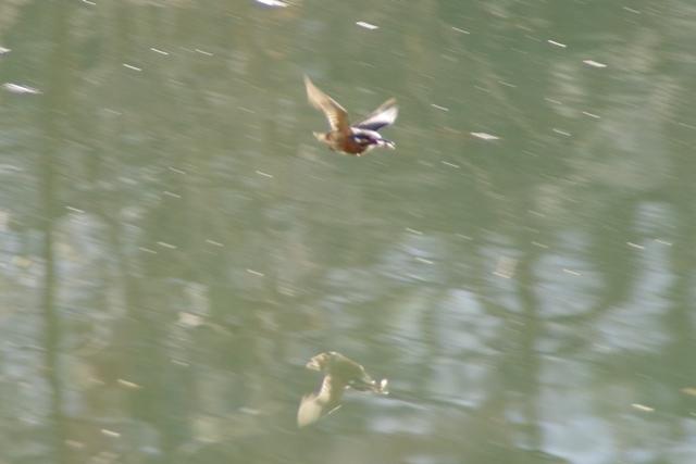 飛ぶカワセミ2