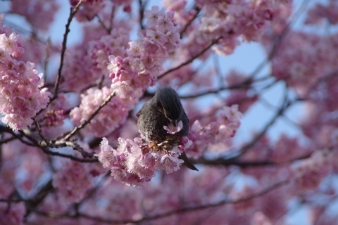 蜜を食べるヒヨドリ