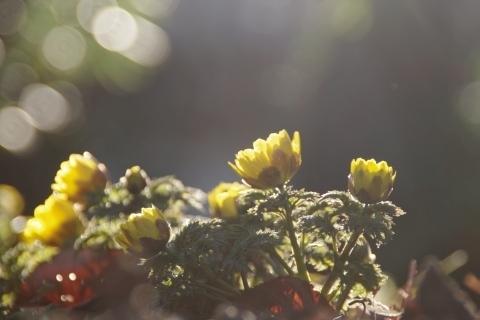 木漏れ日に輝くフクジュソウ