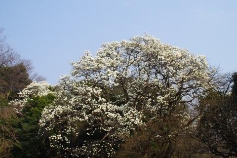ハクモクレンの巨木