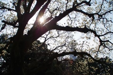 日に照らされるハクモクレンの巨木
