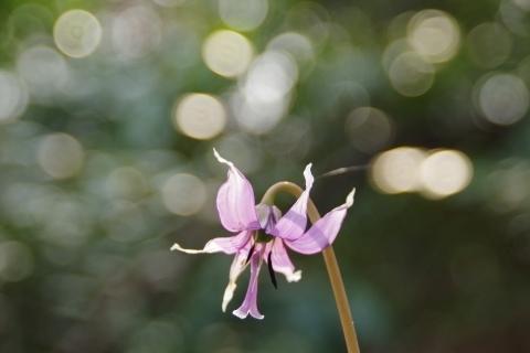 輝くカタクリの花