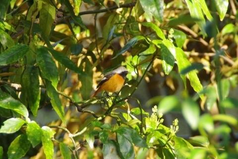 茂みの中のジョウビタキのオス